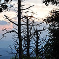 Dead Pines Along The Parkway by Sherri Quick