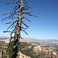 Dead Tree At Bryce Canyon  Overlook by Christiane Schulze Art And Photography
