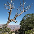 Dead Tree At Grand Canyon South Rim by Christiane Schulze Art And Photography