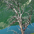 Dead Tree At Green River Lakes -wyoming by Gary Whitton