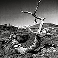 Dead Tree Craters Of The Moon Id by Hal Norman K