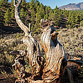 Dead Tree In Sunset Crater Volcano National Monument by Fred Stearns
