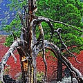 Dead Tree On Cinder At Sunset Crater by Tom Janca