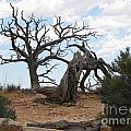 Dead Tree - Natural Bridges National Park by S Mykel Photography