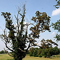 Dead Tree With Ivy by Christiane Schulze Art And Photography