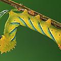 Deaths Head Hawk Moth  by Ingo Arndt