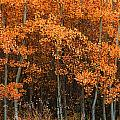 Deciduous Aspen Forest In Fall by Corey Hochachka