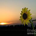 Sunflower And Sunset by Mae Wertz