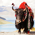 Decorated Yak At Gamta Pass by Merten Snijders