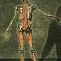 Deep Muscular System Of The Back by Arnauld Eloi Gautier D'Agoty