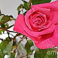 Deep Pink Rose - Summer - Rosebuds by Barbara Griffin