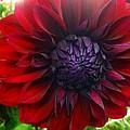 Deep Red To Purple Dahlia Flower by Susan Garren