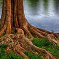 Deep Roots - Tree On North Carolina Lake by Dan Carmichael