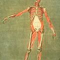 Deeper Muscular System Of The Front by Arnauld Eloi Gautier D'Agoty