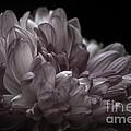 Deeper Purple Dahlia by Josh Spidel