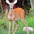 Deer 102 by Patsy Pratt