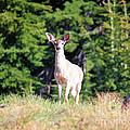 Deer Approaching by Steven Baier