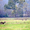 Deer At Cades Cove by Kenny Francis