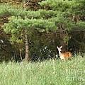 Deer At Dusk V1 by Deb Schense