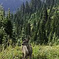 Deer At Rainier by Sharon Seaward