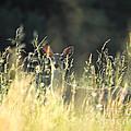 Deer At Sunset by Jai Johnson