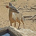 Deer At Waterhole by Judith Russell-Tooth