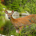 Doe At Waters Edge by John Vose