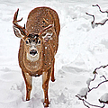 Deer Buck In Snow by Peggy Collins