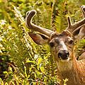 Deer Buck In Velvet by Peggy Collins