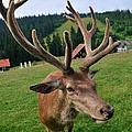 Deer Cervidae With Impressive Antlers by Matthias Hauser