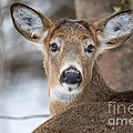 Deer by Cheryl Baxter