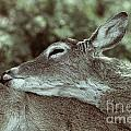 Deer Close-up by Douglas Barnard