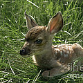 Deer Fawn by Wildlife Fine Art
