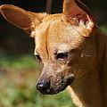 Deer-head Chihuahua by Paul Wilford