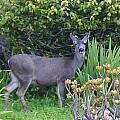 Deer II by Barbara Snyder