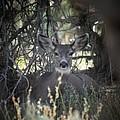 Deer II by Brandi Maher