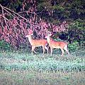 Deer-img-0151-003 by Travis Truelove