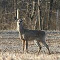 Deer In Field by Sarah  Lalonde