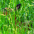 Deer In Tall Grass by David Lee Thompson