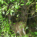Deer In The Bushes by Aimee L Maher ALM GALLERY
