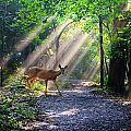 Deer In The Sun by Malcolm MacGregor