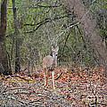 Deer In The Woods by Jai Johnson