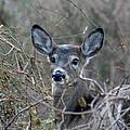 Deer by Karen Silvestri