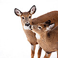 Deer Kisses by Karol Livote