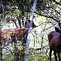 Deer Looking For Food by Edward Hawkins II
