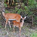 Deer Mom 2 by Sheri McLeroy