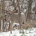 Deer Of Beauty  by Stephanie Irvin