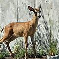 Deer On A Walkabout by Nicki Bennett