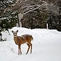 Deer On Side Of Road by Linda Kerkau