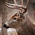 Deer Pictures 491 by World Wildlife Photography